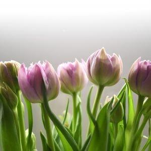 spring tulips in bud